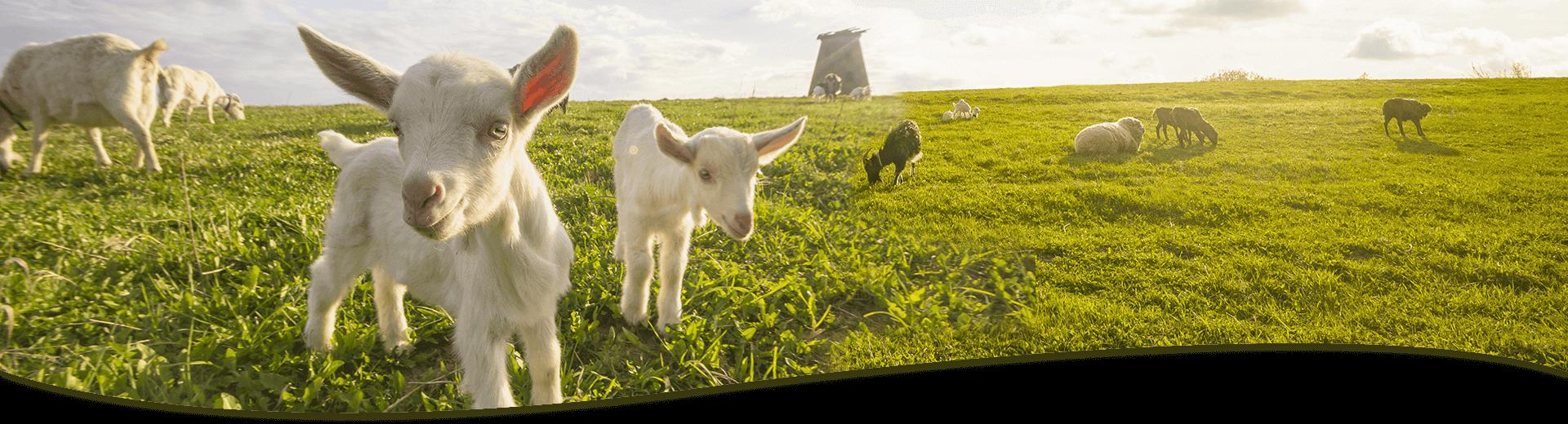產品資訊-羊乳片橫幅