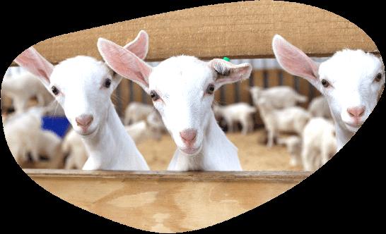 羊隻吃鮮新牧草